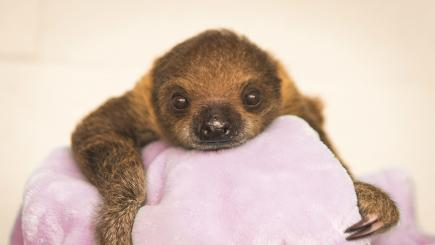 This baby sloth is exactly what you need in your life right now