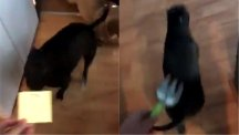 This dog will run away from any harmless object her owner picks up