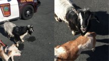 This goat and dog ran away from home together and went on an adventure