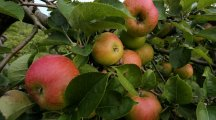 This robot can stop and pick apples just as well as humans