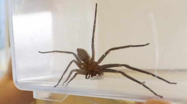 This video of a huntsman spider carrying a mouse is the stuff of