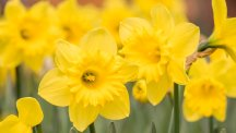 Tips on spring bulb planting and new varieties to try