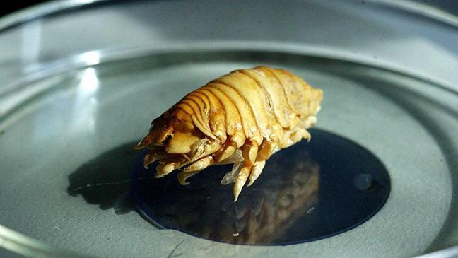 Как выглядят паразиты у рыбы