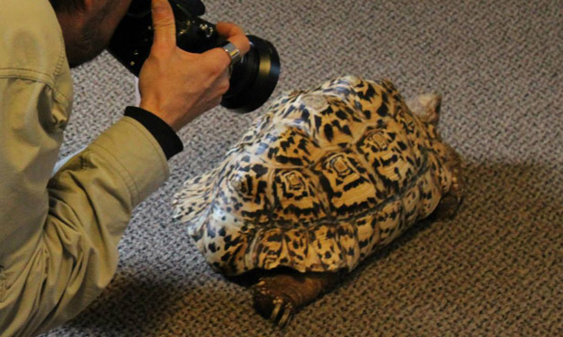 Sick Tortoise Gets D Printed Shell BT - Tortoise gets 3d printed shell