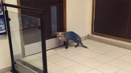 The blue fox spotted by Travelodge guest Scott Farnell