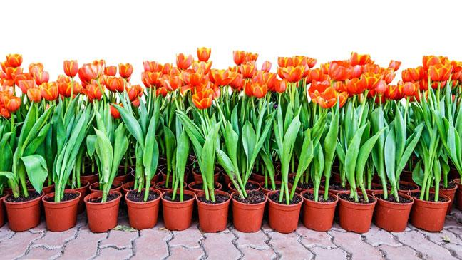Tulips 9 Tips For Planting Them In Containers And Pots This