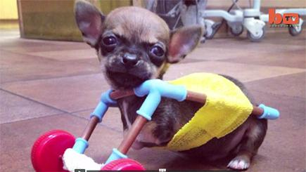 Turbo-Roo the disabled Chihuahua