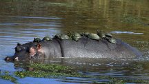 Turtles taking a hippo taxi ride