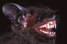 The Hypsugo dolichodon, a long-fanged bat, is one of 139 new species discovered in South East Asia's Greater Mekong region in 2014.