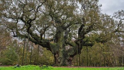Also-ran... the Major Oak in Sherwood Forest