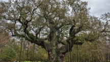 The Major Oak in Sherwood Forest Country Park, Nottinghamshire