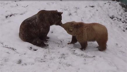 The moment two bears Ari and Rina kissed each other in the snow has been caught on camera.