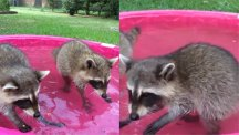 Watch these adorable raccoons splash around in a pink paddling pool