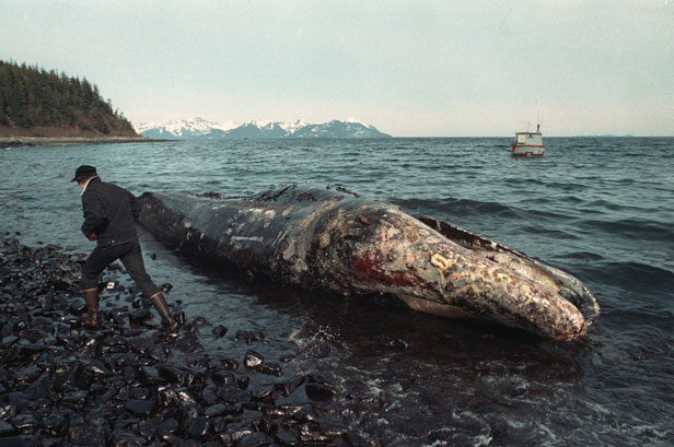 A local fisherman inspects a dead California gray whale on the northern shore of Latouche Island, Alaska.