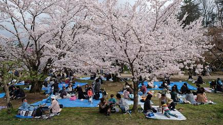 What is hanami? All about the Japanese tradition highlighted by Springwatch