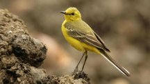 "The yellow wagtail is on the ""red list"" of the UK's most threatened birds."