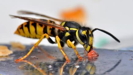 why we hate wasps
