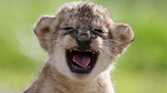 world lion day 10 of the best lion cub pictures to get you in the