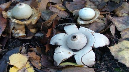 Zombies, earthstars and other 'alien' invasions in your garden? Here are 6 to look out for