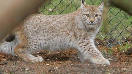 A lynx, similar to the one which escaped from its enclosure at Dartmoor Zoological Park