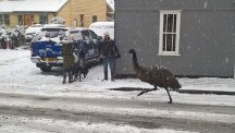 An emu called Farage has been spotted roaming the snowy streets of Essex