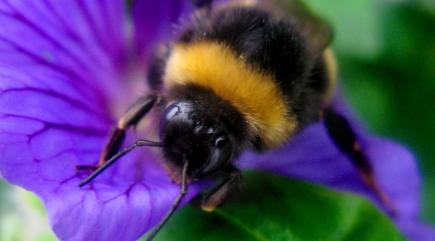 Bumblebees could be wiped out by global warming - here's why