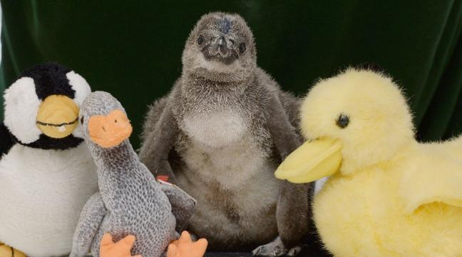 Check out these adorable baby Humboldt penguins being tickled, fed and weighed at ZSL London Zoo