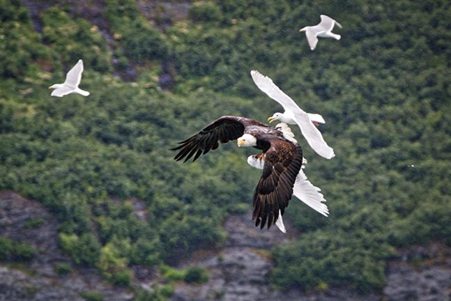 https://home.bt.com/images/eagle-and-seagulls-mid-air-battle-136399285247703901-150717114855.jpg