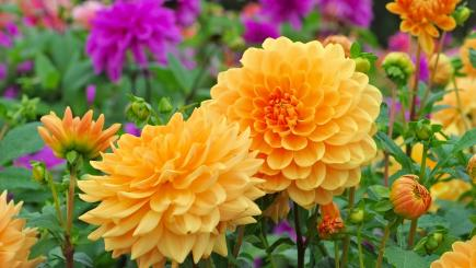 Have your dahlias gone black? It's time to put them away for the winter – follow our 5-step guide