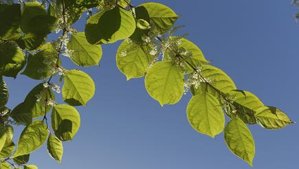 How do you get rid of Japanese knotweed?