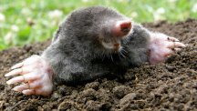 How to tell if you have moles in the garden