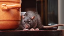 Keeping rats and mice out of your house