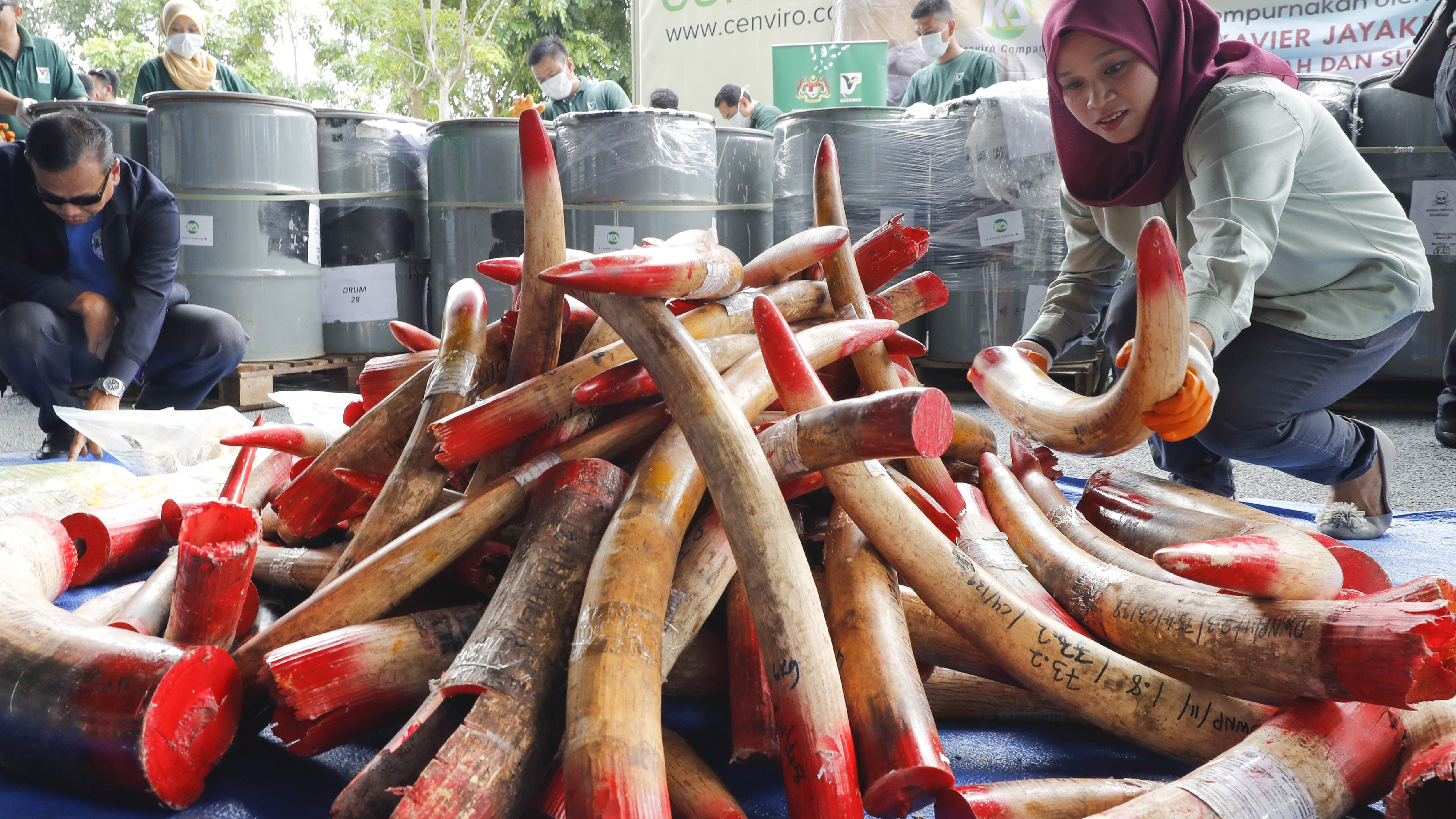 b7dab744bcdb Malaysia has destroyed nearly four tons of elephant tusks and ivory  products estimated to be worth 13.26 million ringgit (£2.46 million) as  part of its ...