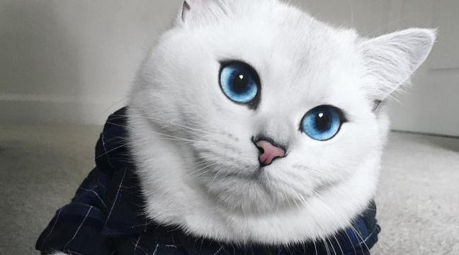Meet Coby - the cat who has enchanted the internet with his beautiful blue  eyes - BT