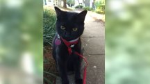 Meet Vin – the adorable black tabby who thinks he is a dog