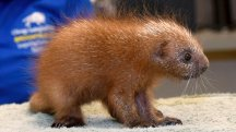 New baby porcupine spikes interest in Chicago zoo