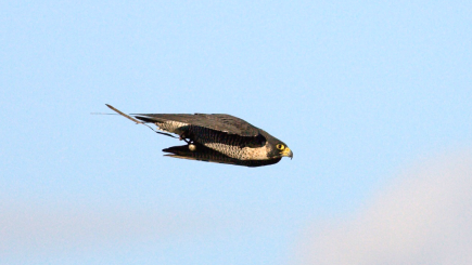 Peregrine falcons attack prey 'like guided missiles', say scientists