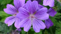 Purple is the new black in the garden – but how do you include it in your scheme?