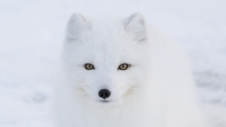 Arctic Fox Software Deutsch