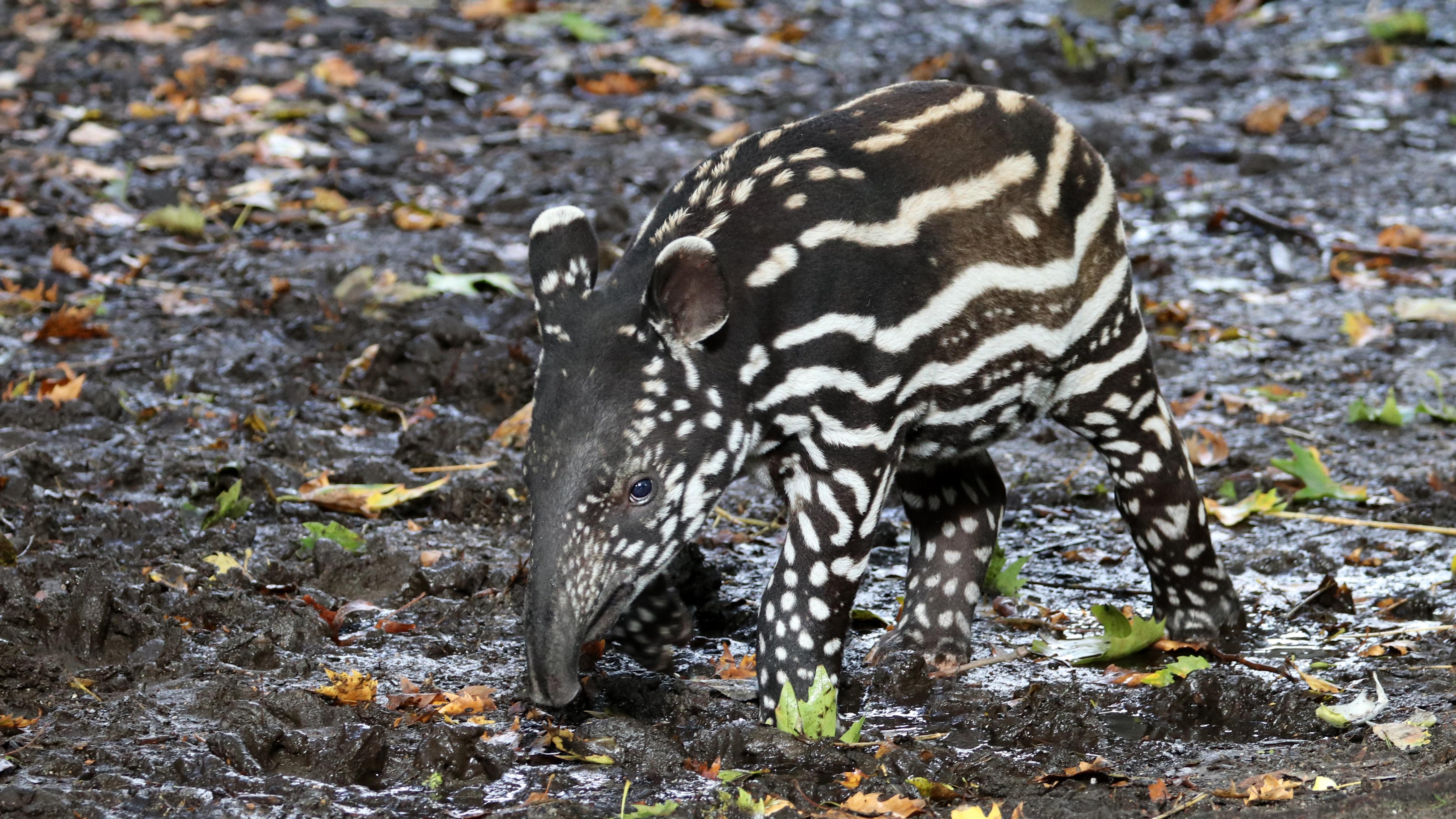 Say hello to Don – San Diego Zoo's adorable baby tapir has