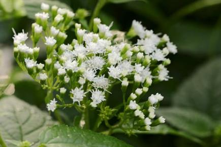 ... white snakeroot contains tremetol, a toxin so poisonous that it can prove fatal in humans who merely drink the milk of a cow who has eaten this plant.