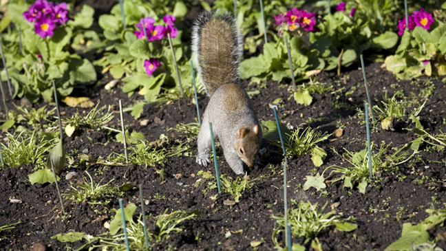 Squirrels digging up lawn bindu bhatia astrology - How do you keep squirrels out of your garden ...