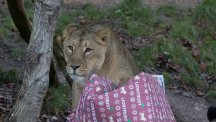 Stop everything and watch these London Zoo residents open their Christmas gifts