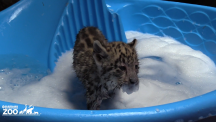 These snow leopard cubs having a bath are just having the best time