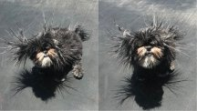This dog's trampoline-charged hair makes her look like an electric-type Pokemon