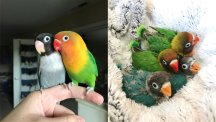 This pair of lovebirds had four multi-coloured chicks and people are obsessed