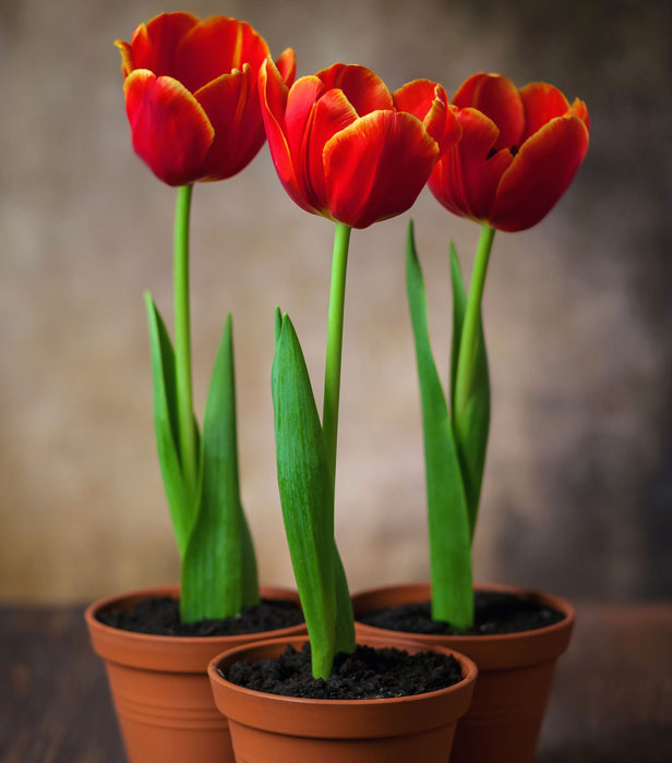Tulips 9 Tips For Planting Them In