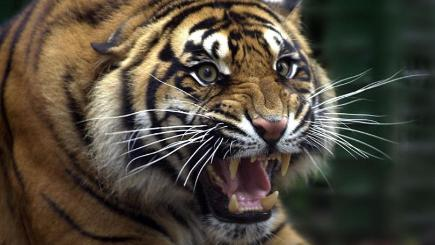 Veteran Zookeeper Killed In Tiger Attack Bt