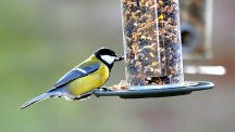 A Great Tit takes food from a feeder in a garden in Yorkshire.