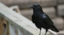 Watch as a cheeky crow unzips this man's lunchbox and pinches his food